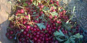 Hawthorn harvest